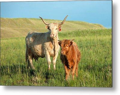 Cattle Metal Prints