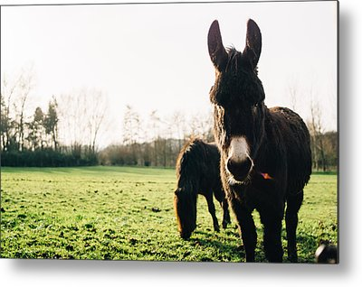 Donkey Photographs Metal Prints