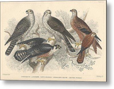 Gyr Falcon Metal Prints