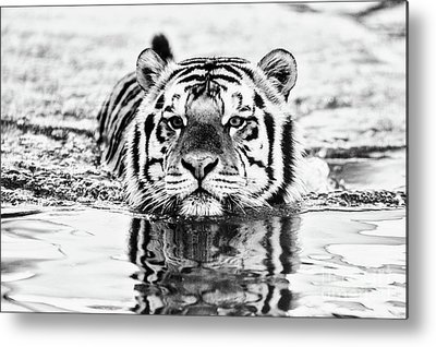 Mike The Tiger Metal Prints