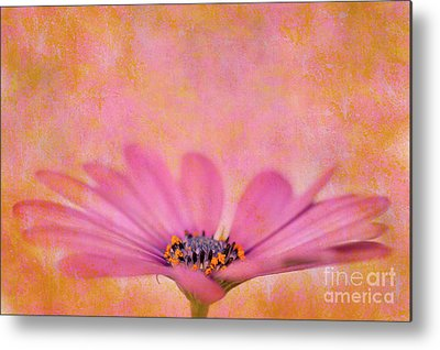 African Daisy Metal Prints