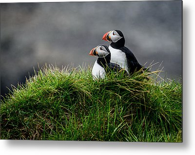 Puffin Metal Prints