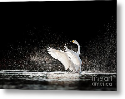 Whooper Swan Photographs Metal Prints