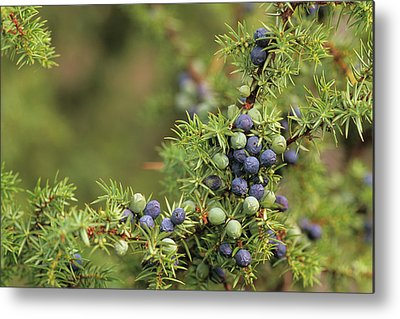 Juniper Berries Metal Prints