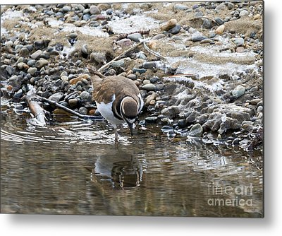 Killdeer Metal Prints