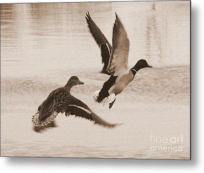 Two Ducks In Flight Photographs Metal Prints