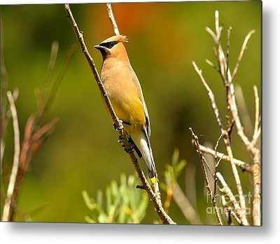 Cedar Waxing Metal Prints