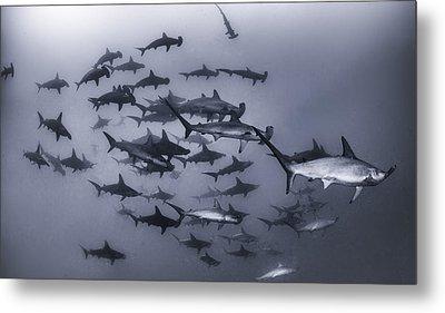 Hammer Head Shark Metal Prints