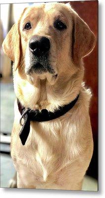 Labrador Dog Metal Prints