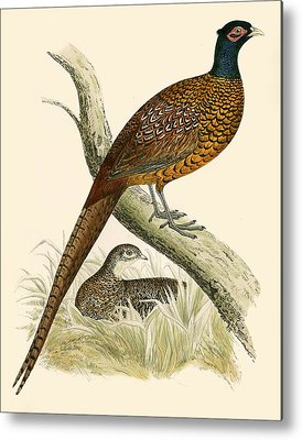 Pheasant Metal Prints