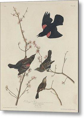 Starlings Drawings Metal Prints