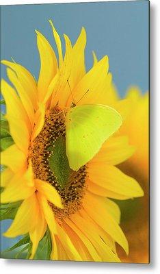 Sulfur Butterfly Metal Prints