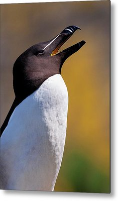 Razorbill Metal Prints
