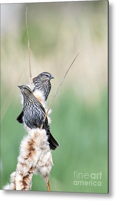 Red-winged Blackbird Metal Prints