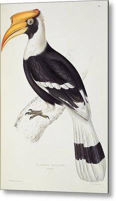 Hornbill Drawings Metal Prints