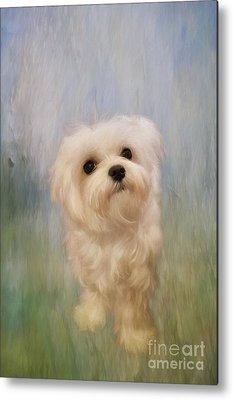 Maltese Puppy Metal Prints