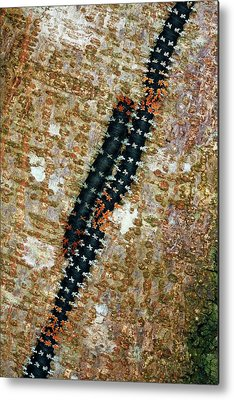 Larva Metal Prints