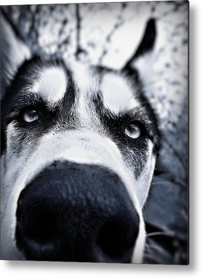 Huskies Metal Prints