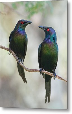 Starling Metal Prints