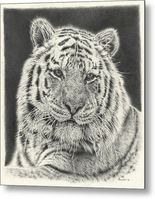 African Tiger Metal Prints