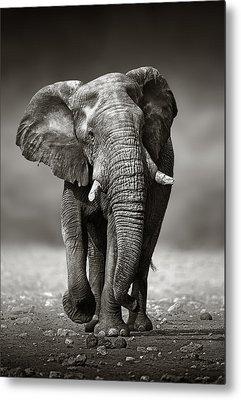 Bull Elephant Metal Prints