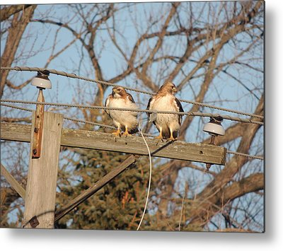 Two Hawks On A Telephone Pole Red Tail Metal Prints