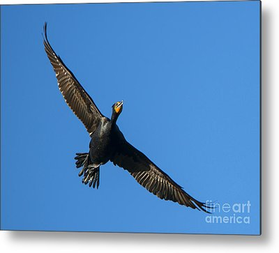 Phalacrocorax Auritus Metal Prints