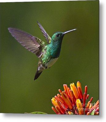 Flying Hummingbird Metal Prints