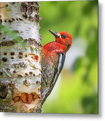 Sapsucker Metal Prints