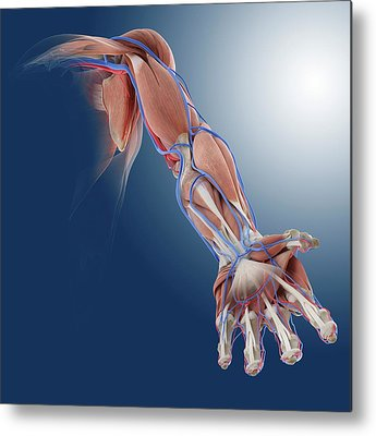 Musculoskeletal System Metal Prints