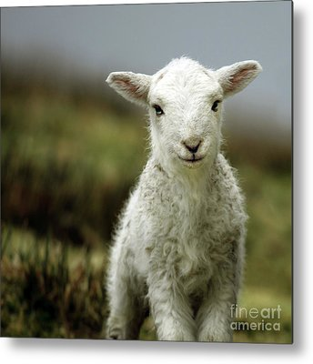 Sheep Metal Prints