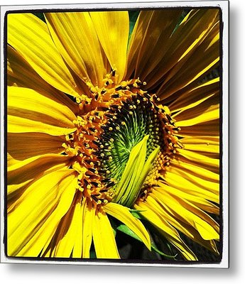 Sunflowers Metal Prints