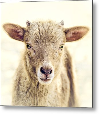 Lambs Metal Prints