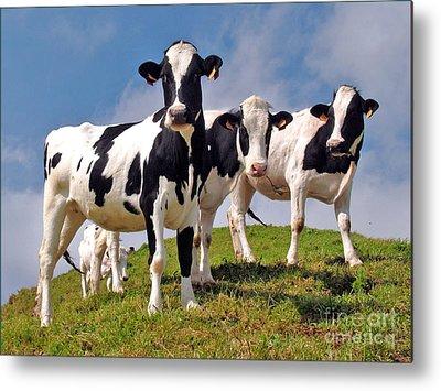 Cow Metal Prints