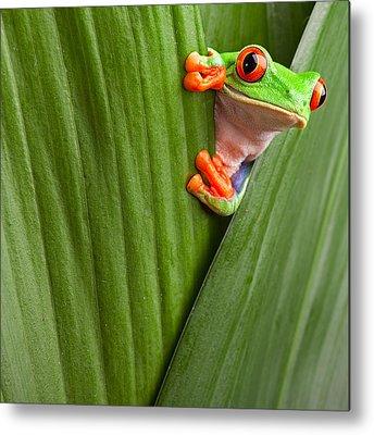 Red Eyed Tree Frog Metal Prints