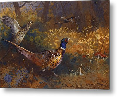 A Cock And Hen Pheasant At The Edge Of A Wood Metal Print by Archibald Thorburn