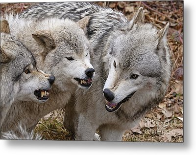 Metal Print featuring the photograph  Alpha Displeasure 2 by Wolves Only