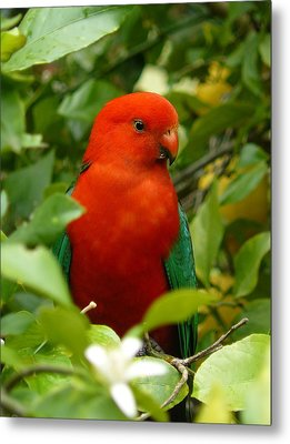 Metal Print featuring the photograph  Aussie King Parrot by Margaret Stockdale