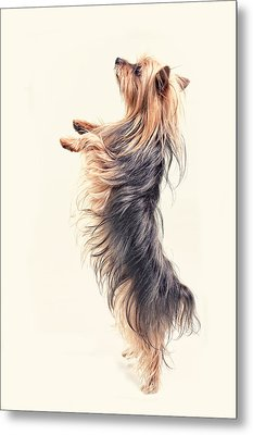 Dancing Yorkshire Terrier Metal Print by Susan Stone