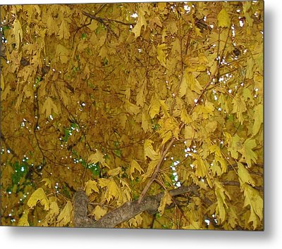 Metal Print featuring the photograph  Fall Amur Maple  by J L Zarek