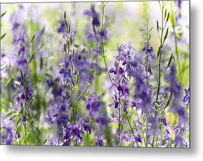Fields Of Lavender  Metal Print