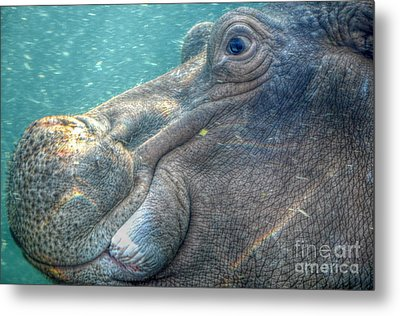 Hippopotamus Smiling Underwater  Metal Print