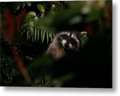 I Can See You  Mr. Raccoon Metal Print by Kym Backland