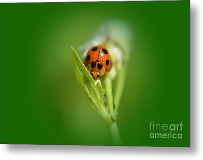 Metal Print featuring the photograph  Ladybug by Michelle Meenawong