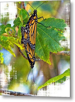 Monarch Butterflies Coupled In Their Mating Ritual  Metal Print by Constantine Gregory
