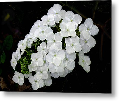 Metal Print featuring the photograph  Oak Leaf Hydrangea by William Tanneberger