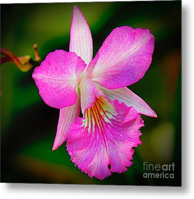 Orchid Flower Metal Print by Nicola Fiscarelli