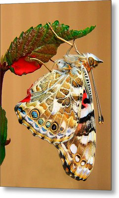 Painted Lady Butterfly Metal Print by David and Carol Kelly
