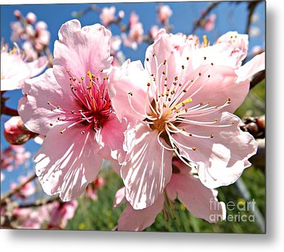 Peach Blossom Metal Print by Clare Bevan
