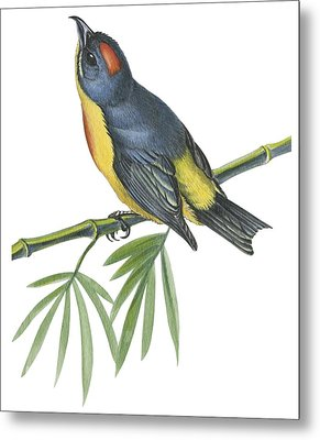Philippine Flowerpecker Metal Print by Anonymous
